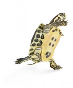Schildpad-in-actie-249x300